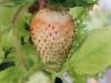 2013-06-27 truskawka się czerwieni