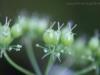 2013-06-29 kolendra wykształca nasiona