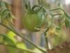 2013-07-05 pomidorek koktajlowy - maskotka