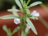 2013-07-06 cząber kwitnie