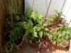 2013-07-06 papryki i sałaty