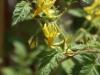2013-07-06 pomidor owalny kwitnie