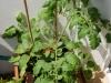 2013-07-06 pomidor, papryka i zioła