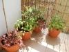 2013-07-06 warzywa na balkonie