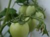 2013-08-04 pomidory owalne