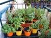 2013-08-04 zioła na balkonie