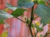 2013-08-14 papryczka chili