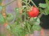 2013-08-14 pomidor maskotka