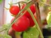 2013-08-14 pomidorki koktajlowe