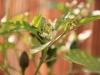 2013-09-26 chili pimenta kwitnie