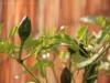 2013-09-26 chili pimenta