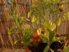 2013-10-03 chili pimenta