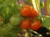 2013-10-03 pomidorki balkoni red