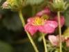 2013-10-26 truskawka kwitnie