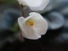 2013-06-13 fiołki kwiat