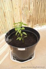 2012-06-15 Chili Pimenta
