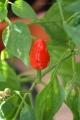 2012-09-25 pierwsza czerwona pimenta :)