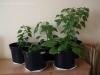 2012-07-22 papryczki chili