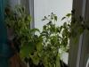 2012-10-08 papryczki chili