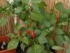 2012-10-15 chili pimenta