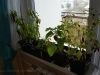 2012-10-29 papryczki chili