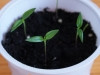 2013-03-10 Pimenta