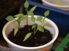 2013-04-14 Chili Pimenta