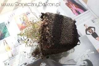 2012-04-26 Stara bryła korzeniowa