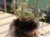 2012-04-26 Oczyszczone korzenie