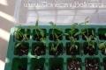 2012-04-20 pomidorki przed operacją
