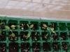 2012-04-17 sałata majowa i roszponka