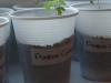2012-05-03 pomidotki koktajlowe - cytrynek