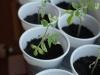 2012-05-03 pomidorki koktajlowe - maskotka
