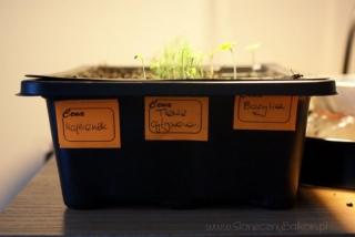 2013-03-02 majeranek, trawa cytrynowa i bazylia