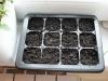 2013-02-04 posiana bazylia, trawa cytrynowa i stewia - przykryte ziemią i podlane