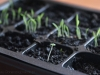 2013-02-20 bazylia na tle trawy cytrynowej
