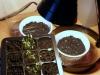 2013-02-26 trawa cytrynowa, chili i stewia wygrzewają się pod lampą