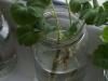 2013-03-01 sadzonki pelargonii się ukorzeniają