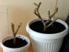 2013-03-02 pelargonie obcięte po pobraniu sadzonek i przesadzone do większych doniczek