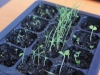 2013-03-10 majeranek, trawa cytrynowa i bazylia