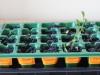 2013-03-20 zasiane ziółka w większości padły - za wcześnie wysiane
