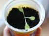 2013-04-07 sałata liściowa