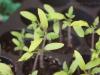 2013-04-14 pomidor owalny