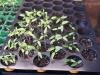 2013-04-14 pomidorki i papryki