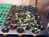 2013-04-20 pomidorki i papryki