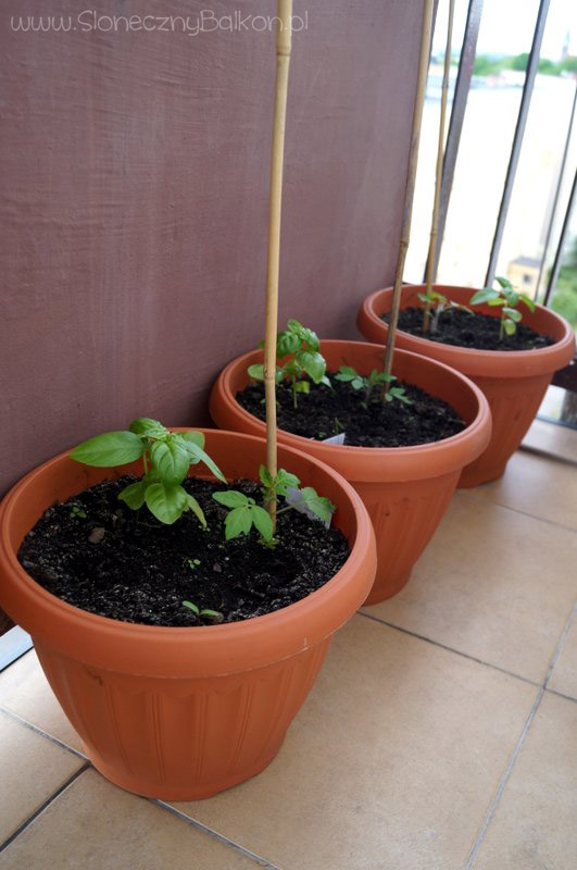 2014-06-22 pomidory koktajlowe