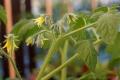 2014-07-11_pomidor-latah-kwiaty