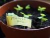 2014-04-29 bazylia miniaturowa