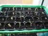 2014-04-29 pomidory przepikowane