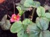 2014-04-29 truskawka kwitnie